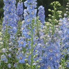 Delphinium- Summer Skies- 25 seeds | eBay