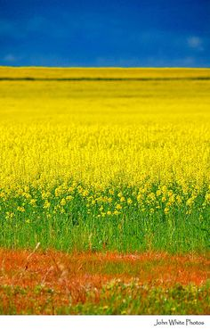#AustraliaItsBig - Canola crops-South Australia #Australia.