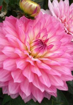 bush): pink with white and yellow centers. Herbaceous Perennials, Flowers Perennials, Planting Flowers, Flowers Nature, Exotic Flowers, Pink Flowers, Types Of Flowers, Beautiful Flowers, Dahlia Flower