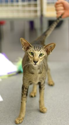 Someone from Alberta is cheating cat lovers by selling them shaved kittens. These shaved kittens were sold in the market as the hairless Sphynx cats. Pretty Cats, Beautiful Cats, Siamese Cats, Cats And Kittens, Cats Meowing, Oriental Shorthair Cats, Gatos Cool, Animal Gato, Oriental Cat