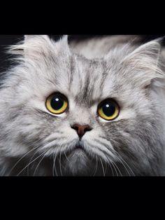 Just beautiful - Silver tabby Persian