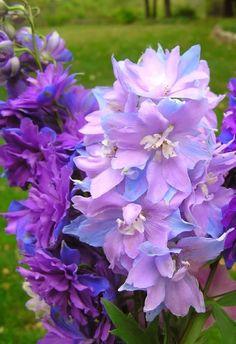 flowersgardenlove:  Delphinium 'Misty Ma Beautiful gorgeous pretty flowers