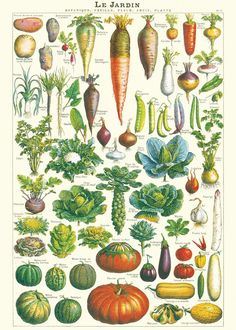 Decorative poster with botanical drawings of vegetables. Use the poster as wall decoration. The poster will look great in a kitchen for example! Combine some different prints to make your own personalized wall. Illustration Botanique, Garden Illustration, Botanical Illustration, French Illustration, Vegetable Illustration, Graphic Illustration, Botanical Drawings, Botanical Art, Botanical Science