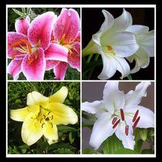 Stargazer, Concador, Casablanca, White Lilies