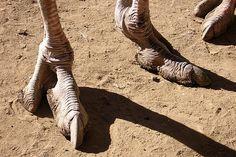 Ostrich feet (think dinosaur) | Flickr - Photo Sharing!