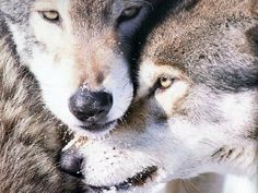 How I love wolves <3