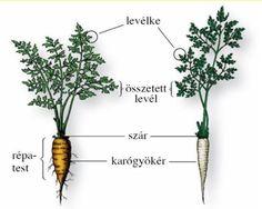 Sárgarépa és petrezselyem Természetismeret 5.évfolyam Nature Study, Herbs, Flower, World Discovery, Natural History, Herb, Flowers, Medicinal Plants