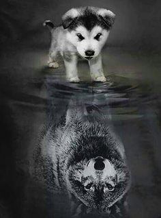 A little pup thinks that he is more then he really is a wolf, a alpha, a leader. - A little pup thinks that he is more then he really is a wolf, a alpha, a leader. Cute Baby Animals, Animals And Pets, Funny Animals, Cute Puppies, Dogs And Puppies, Cute Dogs, Doggies, Wolf Puppies, Beautiful Creatures