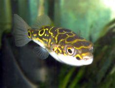 Indostomus spiny eel fish recipes