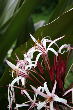 Giant/Grand Red/Pink Spider Lily Plants (Crinum augustum) Red And Pink, Beautiful Flowers, Spider, Tropical, Lily, Plants, Beauty, Joy, Love