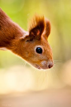 Red squirrel by Irene Mei on Flickr