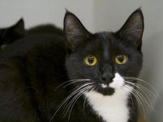 KENDALL is an adoptable Domestic Short Hair Cat in Brewster, MA.
