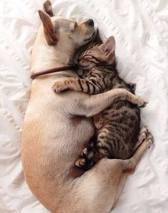 Chihuahuas love cats...kinda