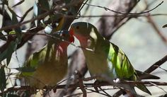 Pair of Princess Parrots by dracophylla, via Flickr