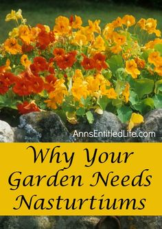 Why your garden needs Nasturtiums! #dan330 http://livedan330.com/2015/06/28/nasturtiums-a-plant-you-should-have-in-your-garden/