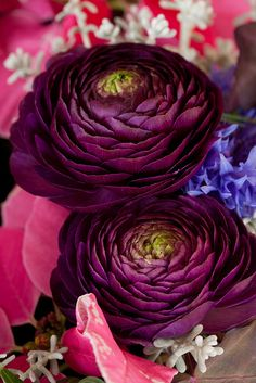 Deep eggplant color Ranunculus
