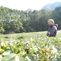 Dokodemosora Tea Farm - fields
