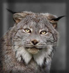 Lynx by Jim Cumming on 500px