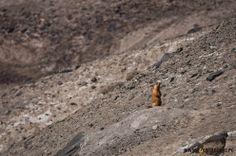Marmot in Pamir Mountains near Karakul Lake, Tadjikistan.