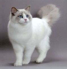 The Ragdoll is a cat breed with blue eyes and a distinct colorpoint coat.
