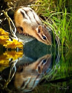 Chipmunk Reflection Photograph by Bob Orsillo - Chipmunk Reflection Fine Art Prints and Posters for Sale I love chipmunks! Woodland Creatures, Cute Creatures, Beautiful Creatures, Animals Beautiful, Hamsters, Rodents, Skunks, Animals And Pets, Baby Animals
