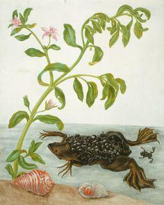The Royal Collection: Sea purslane and Surinam toad Sea purslane and Surinam toad by Maria Sibylla Merian (1647-1717).
