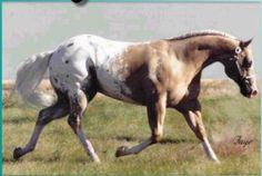 Bright Secretary LD 1995 red dun blanket splash Appaloosa stallion 15.2 hh
