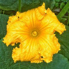 Good morning pumpkin!  #gm #pumpkin #goldenflower #yellow #gold #flower #pumpkinflower #naturephotography #goodmorning #enjoy #haveaniceday #beautifulmorning #beautifulnature #flowersofinstagram #instagarden