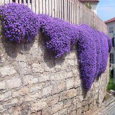 plantes tombantes et tapissantes violettes sur mur en cascade