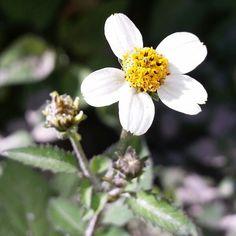 Wild flowers in South Africa, Rustenburg.