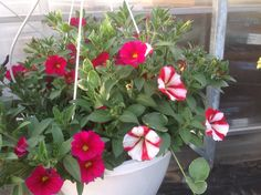 Cherry cheese cake with red & white striping, cherry red supercal & trailing vinca vine Vinca Vine, Cherry Red, Hanging Baskets, Vines, Red And White, Cheese, Cake, Plants, Fall Hanging Baskets