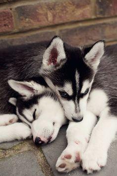 AWWWW. #Husky #pups