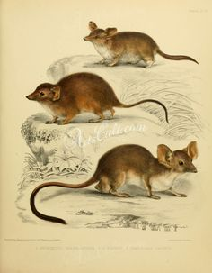 Fat-tailed dunnart, Yellow-footed antechinus, Red-tailed phascogale      ...