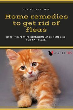 There always exist homemade hacks for every problem. But, it is essential to consult a Vet about the safety and efficacy of home remedies for cat fleas. Pomeranian Facts, White Pomeranian, Pomeranian Puppy, Chihuahua, Puppy Finder, Basic Dog Training, Dog Diet, Cat Fleas, Australian Shepherd