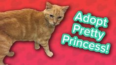 Adopt Pretty Princess! // Orange Tabby // Adoptable Featurette… #funnypetvideos #funnyanimals
