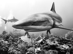 Picture of sharks and divers swimming off the coast of Cuba