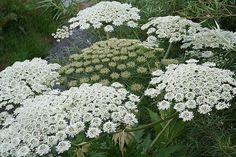 Giant Hogweed - The sap can cause blisters, long-lasting scars, and if it comes in contact with eyes, blindness*****Follow our unique garden themed boards at www.pinterest.com/earthwormtec*****Follow us on www.facebook.com/earthwormtec for great organic gardening tips