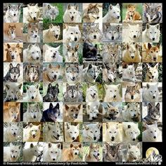 Canis lupus - wild spirit of wolves (faces) Wolf Face, Wild Spirit, Wolves, Faces, All The Pretty Horses, Wolf, The Face, Face, Timber Wolf