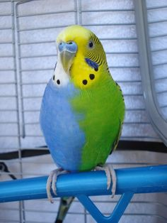 "Twinzy is a ""half sider"" budgerigar, also known as a parakeet. Probably one the of the best ever photographed. Twizy has the characteristics of a blue bird on one side and a green bird on the other, even his tail feathers are split down the middle! He is on display at Rudy's Pet Supply in Oklahoma City"