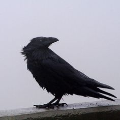 Common Raven - They are also very intelligent. They learn by imitating, problem solve by trial and error, and are able to use manipulation.