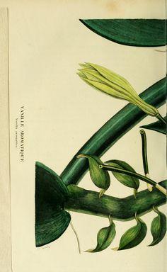- Annales de flore et de pomone : - Biodiversity Heritage Library Botanical Drawings, Botanical Illustration, Orchid Plants, Orchids, Victorian Flowers, Old Book Pages, Commercial Art, Art Clipart, Flower Images