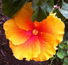 Hibiscus - reminds me of Belize