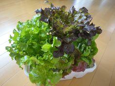 今日は私の水耕栽培容器の作り方をご紹介いたします。この容器は浅底の水耕栽培容器です。横に広がって下葉をかき獲り収穫する野菜に適しています。(例:レタス・チマサンチュ・チンゲン菜・サラダ水菜・パセリ等)茎が長く伸びるほうれん草や小松菜、ビタミン菜、わさびリーフ等は同じく100円グッズで作った深底水耕栽培容器で栽培しています。この記事では、浅底水耕栽培容器の作り方をご紹介いたします。使うものはこれだけで...