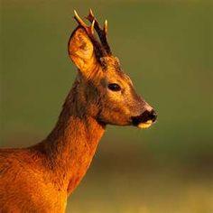 European Roe Deer buck