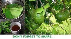 Soursop tea for cancer