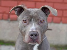 ★TO BE DESTROYED - 01/30/15★A SWEET, SWEET WIGGLEBUTT! PLEASE DON'T LET THEM KILL THIS BEAUTIFUL LITTLE BOY!!!★ Brooklyn Center -P  My name is GEORGE. My Animal ID # is A1025098. I am a male blue and white am pit bull ter mix. The shelter thinks I am about 4 YEARS old.  I came in the shelter as a STRAY on 01/09/2015 from NY 11234, owner surrender reason stated was STRAY.