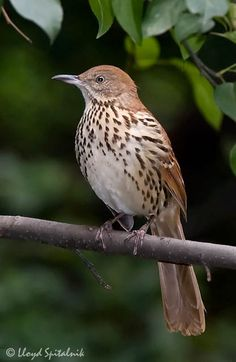 Brown Thrasher (Georgia State Bird!) I saw a pair of these at my grandparents house