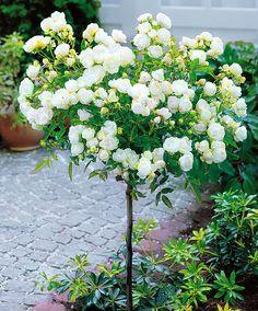 Rose Ad Alberello Snow Queen
