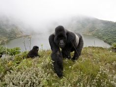 Silverbacks by Christopher Whittier