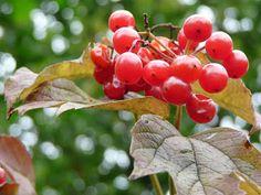 In onze Knollentuin online editie: IVN verhaalt over vruchten, zaden en bessen: zondagmiddag 9 september om 14.00 uur